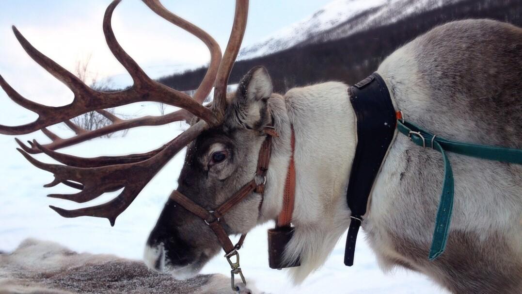 Ciekawostki o pomocnikach Świętego Mikołaja