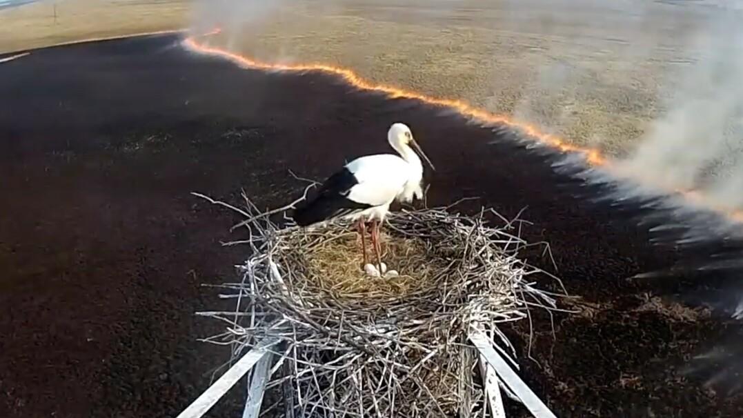 Bocian buduje gniazdo, pod nim płonie ogromny pożar