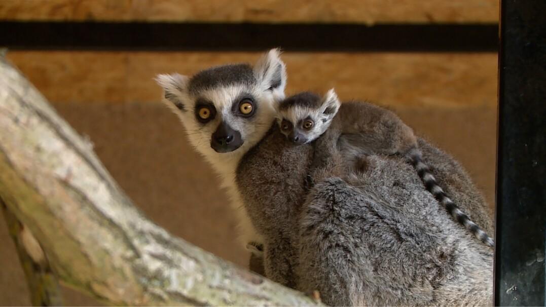 Malutkie lemury nie odstępują od swoich matek na krok