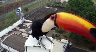 Tukan w obiektywie kamery