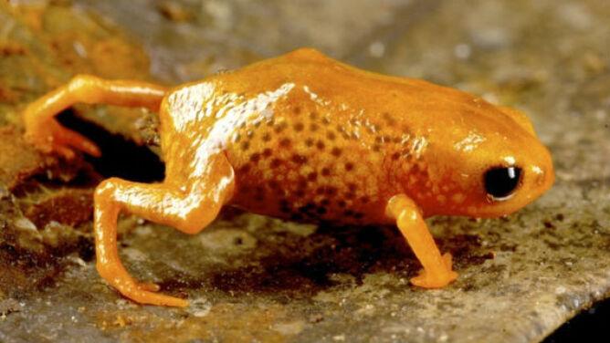 Naukowcy odkryli siedem nowych żab. <br />Są maleńkie i kolorowe
